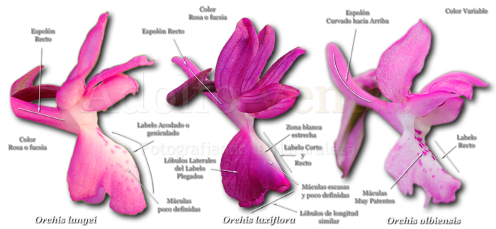 Diferencias Orchis langei, Orchis laxiflora y Orchis olbiensis
