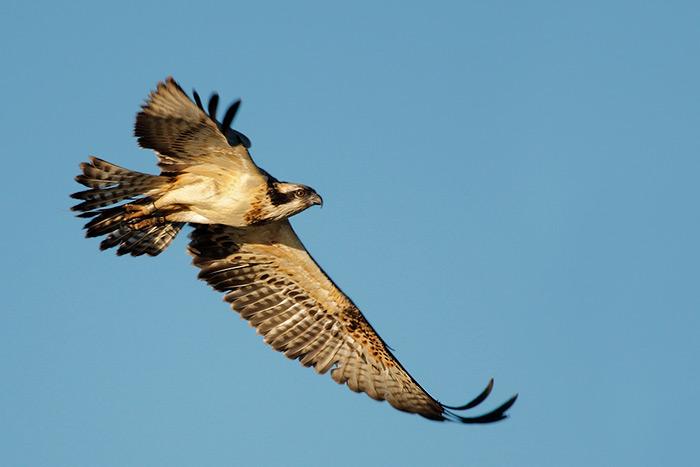 Águila Pescadora (Pandion halieatus)
