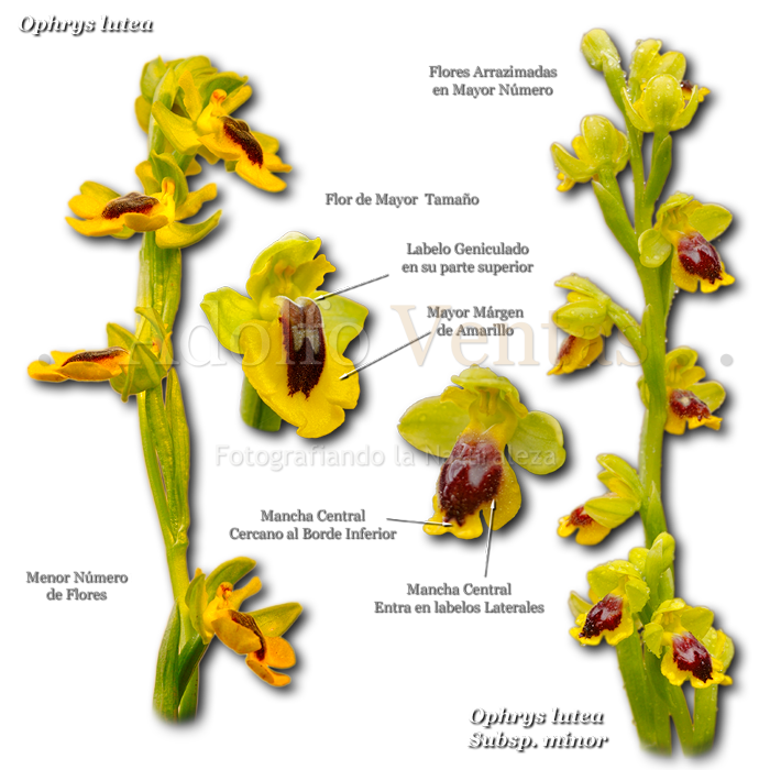 Diferencias Ophrys lutea con Ophrys lutea Subsp. minor