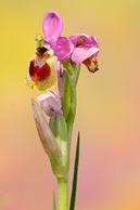 Ophrys tenthredinifera, mi primera Orquídea.